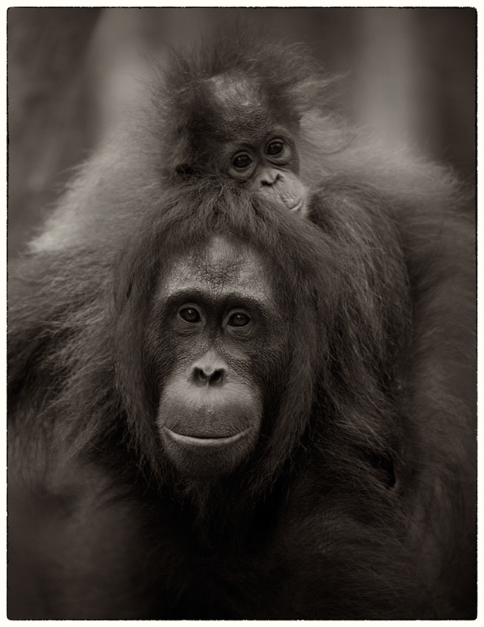 Liam Lynch Motherhood Pongo Pygmaeus