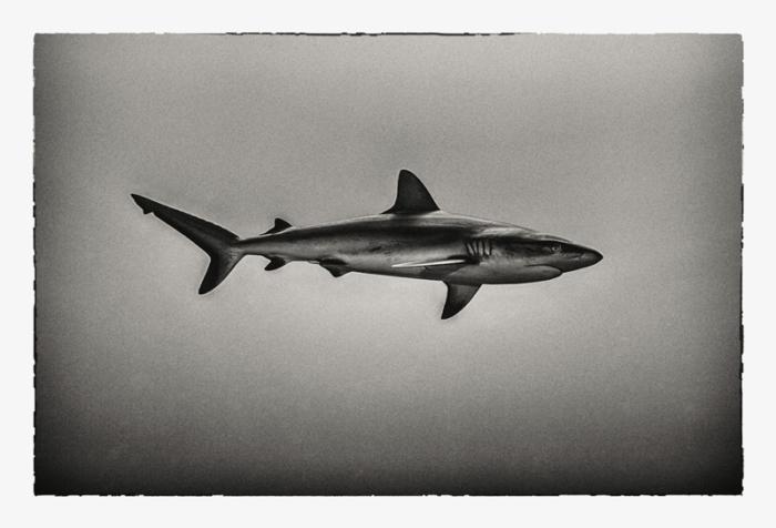 Liam Lynch Shark ' Carcharhinus Amblyrhynchos'
